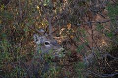 Deer  051019-6687