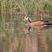 African Pygmy-goose (m)