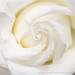 White Rose, (II), 4.20.20