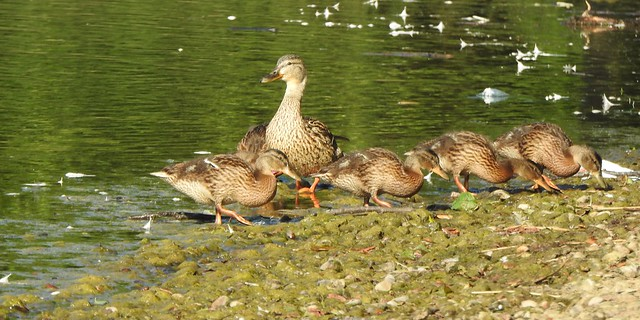 Mum and her ducklings