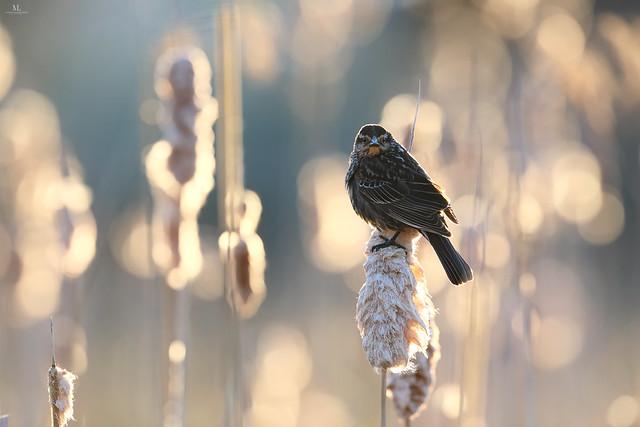 Red-winged blackbird - Carouge à épaulettes - Agelaius phoeniceus
