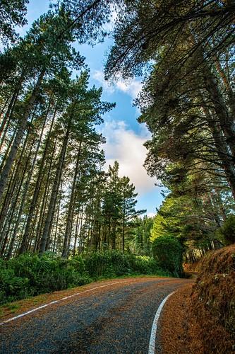 newzealand upperhutt moonshine moonridge lane narrow sunrise autumn pinusradiata radiata pine trees forest california exotic wood export