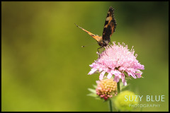 Small Tortoiseshell butterfly on Scabious