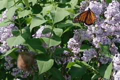 Eastern Red Bat and Monarch Butterfly