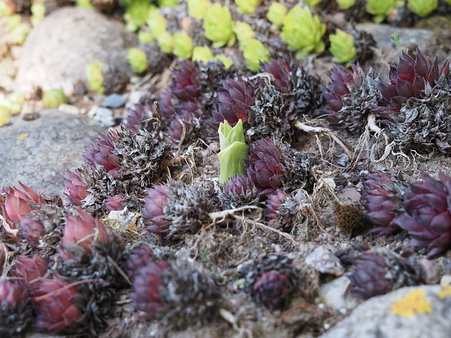 Epipactis helleborine & Sempervivum 'Taara'
