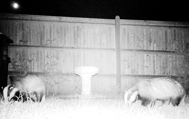 Badgers.