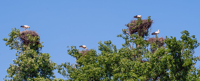 Stork Nests in a Tree