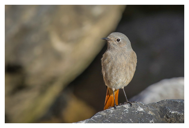 Black Redstart - Female - (Phoenicurus ochruros) 2 clicks for zoom