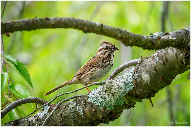 Song Sparrow Between The Branches
