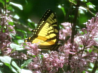 swallowtail 4 | by PlantPostings