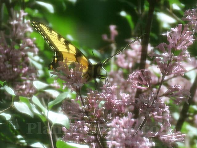 swallowtail 2