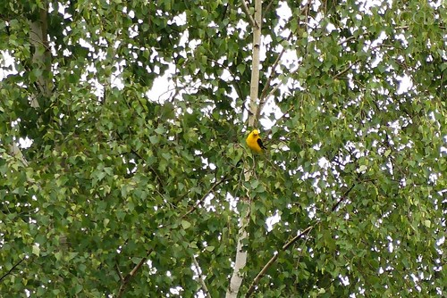 The Golden Oriole (Pirol)!!