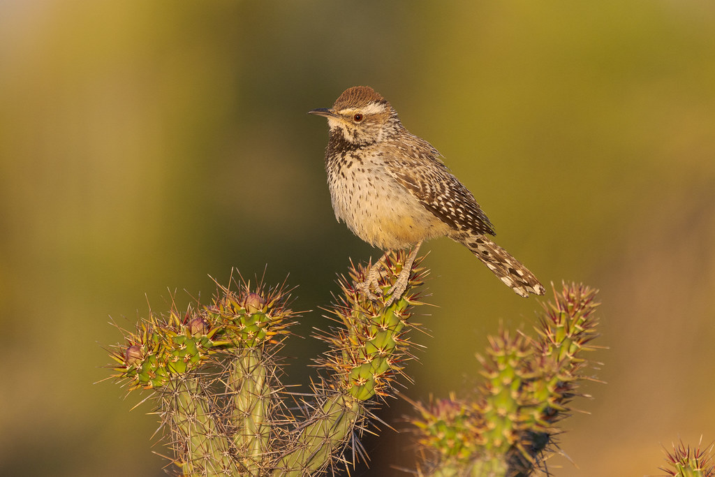 A cactus wren sits atop a buckhorn cholla in front of saguaros on the Chuckwagon Trail in McDowell Sonoran Preserve in Scottsdale, Arizona in May 2020