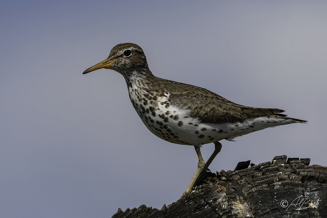 Spotted Sandpiper / Chevalier grivelé