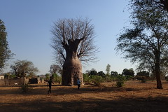 Yellowman's baobab - heavily pollarded - Mangombo, Malawi