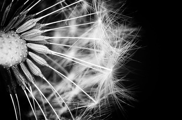 COVID-19 lockdown: fine art B&W dandelion seeds docked with the plant and  draped in their fluffy tails. A Potterton garden, Potterton, Aberdeenshire, Scotland.