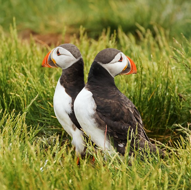 Puffin couple not getting it together