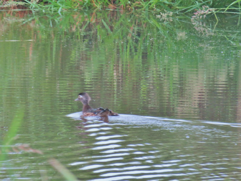 Wood duck and duckling