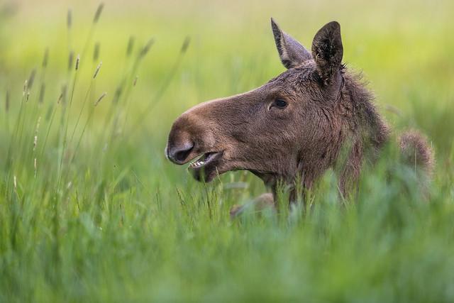 Young Moose Portrait