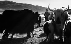 Yaks in the Morning  (由  Cristian Malevic