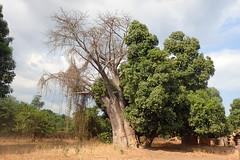 Baobab, Nankwali, Malawi