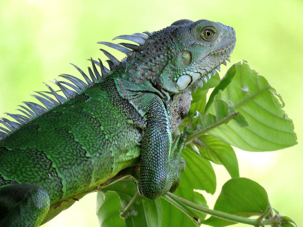 Estas iguanas verdes son relativamente fáciles de ver debido a que son reptiles de sangre fría que optan por trepar a ramas expuestas para tomar el sol y recargarse de energía.