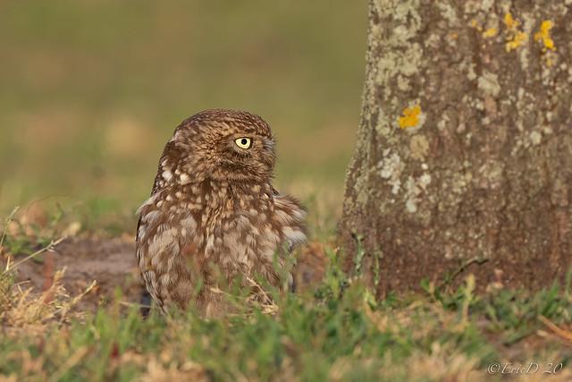 Little Owl 2020
