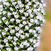 Echium White