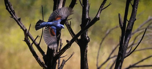 Interesting times....Blue Grosbeak 174  1   Malibu Creek State Park   Southern California_