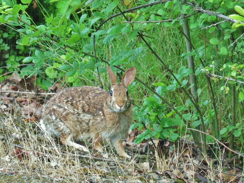 Rabbit at William L. Finely Wildlife Refuge