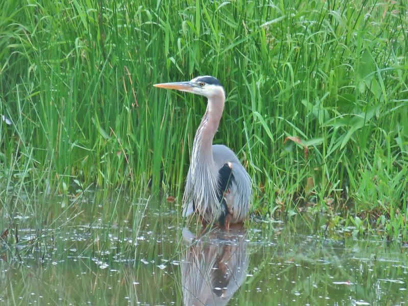 Great blue heron at McFadden's Marsh
