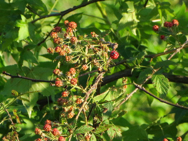 Berries And Leaves.