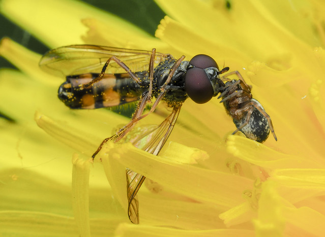 Hover Fly (Syrphidae, Syrphinae) & Spider (Araneae) 120z-5309699