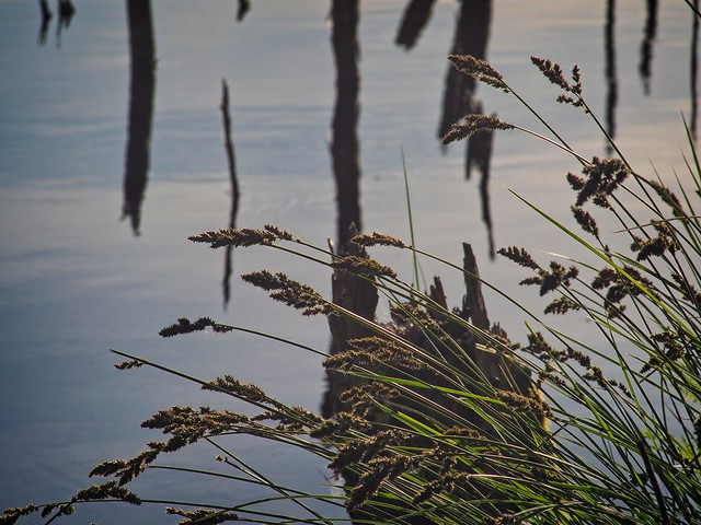 Gräser und Wasserfläche im Tarbeker Moor   31. Mai 2020   Schleswig-Holstein - Deutschland