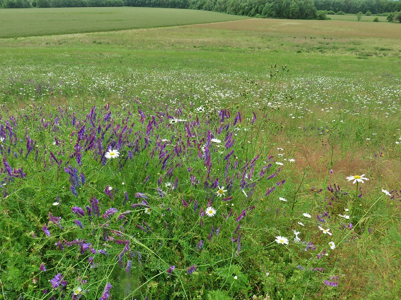 Vetch and daisies