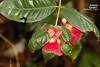 Syzygium siamense ชมพู่สยาม (Craib),