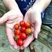 IMG_5939e ~ Cherry Tomatos