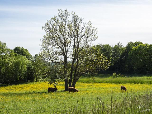 Scottish Highlander Cow, Alling 2020