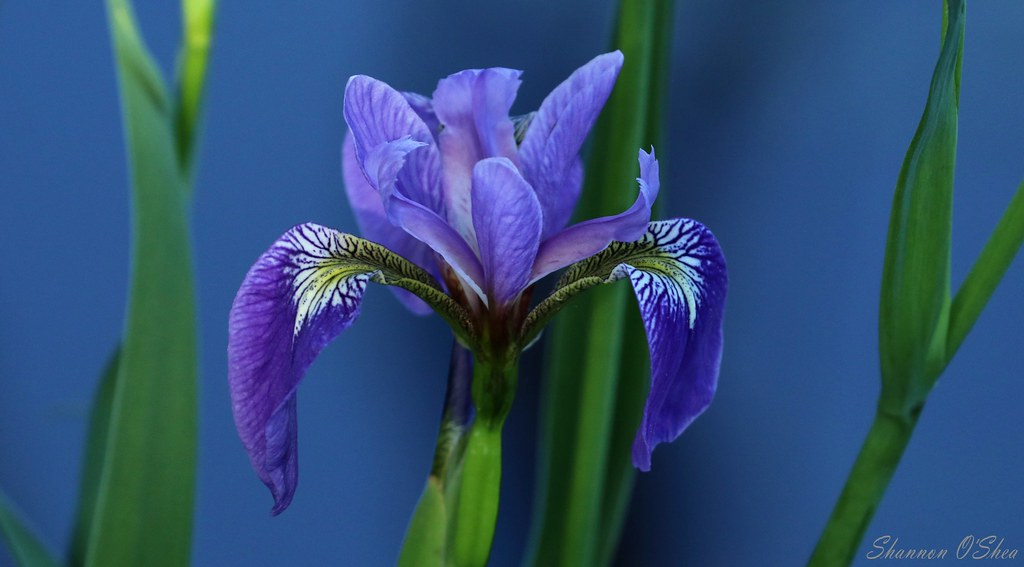 The Iris is a regal queen in flowing robe and crown
