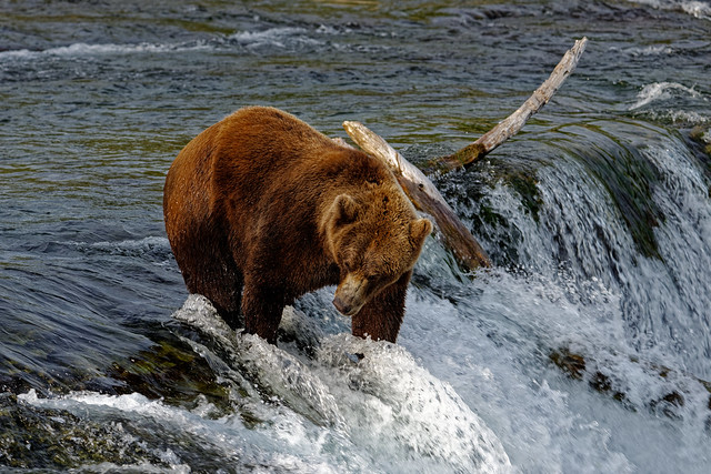 Along the Waters Edge of Brooks Falls (Katmai National Park & Preserve)