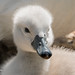 Cygnet with Egg Tooth 502_6861.jpg