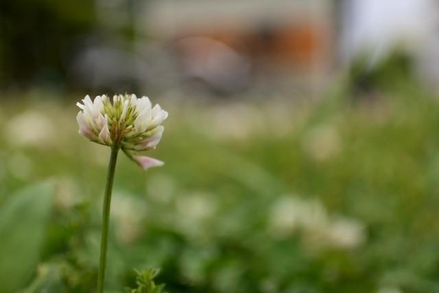 White clover in neighborhood,Kawasaki city 2020/05 No.2.