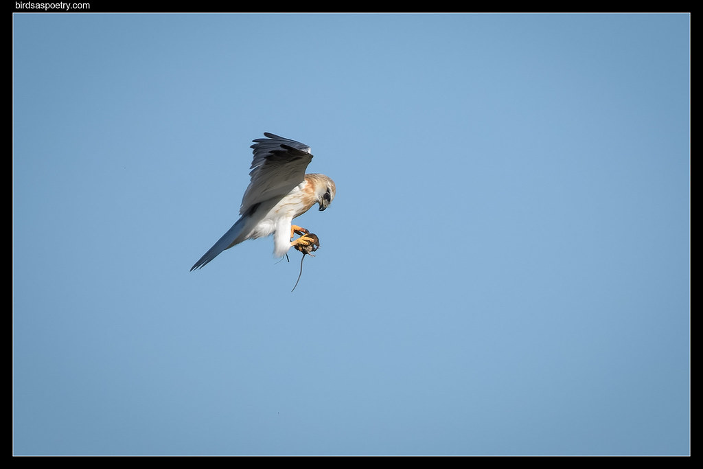 Black-shouldered Kite: What do you mean, you're afraid of heights?