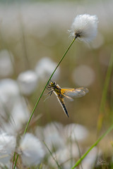 Hold The Line | Libellula quadrimaculata