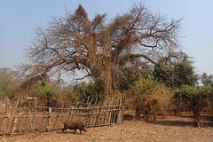 Boabab, Mangombo, Malawi