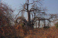 There must be some way outta here, said the joker to the thief...baobab, Mangombo, Malawi