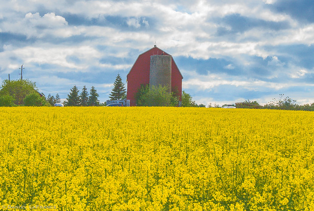 Fields of Canola (DOL-TS-4141)-4141-2