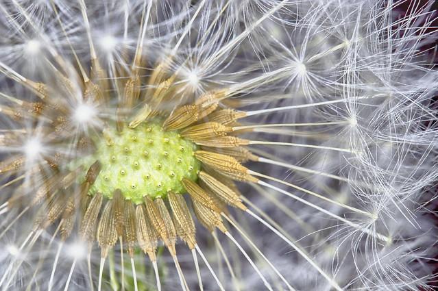 COVID-19 lockdown: golden seeds docked within their soft cocoon of a dandelion puff ball. Fine art colour. A Potterton garden, Potterton, Aberdeenshire, Scotland.