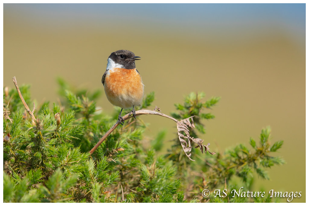 Male Stonechat Calling_