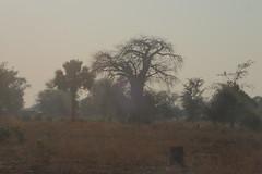 Baobab in early morning light, Mangombo, Malawi